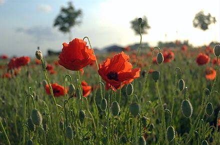 440px-Poppies_Field_in_Flanders